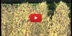Embedded thumbnail for Produtores aguardam chuvas para início de plantio de soja em MS
